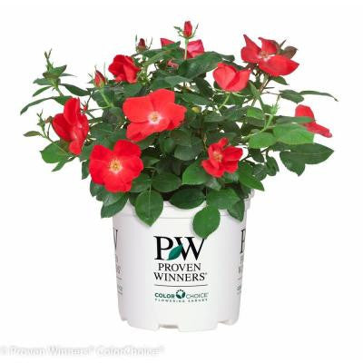 Home Run ColorChoice Rosa - 1 gal. Landscape Rose Shrub