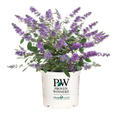 1 gal. Lo and Behold Blue Chip Jr. ColorChoice Buddleia Butterfly Bush Shrub