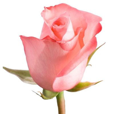 Light Pink Color Roses (250 Stems) Includes Free Shipping