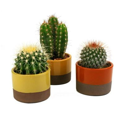 3.5 in. W x 3.5 in. D x 5 in. H Horizon Cactus Plant Assorted (3-Pack)