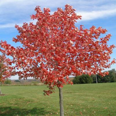 5 gal. Red Sunset Maple Tree
