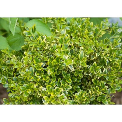 3 Gal. Wedding Ring Boxwood Buxus ColorChoice Evergreen