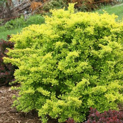 1 Gal. Citrus Sunjoy Barberry Berberis ColorChoice Shrub