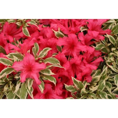 3 Gal. Bollywood Rhododendron ColorChoice Azalea Shrub