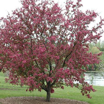 5 gal. Purple Prince Crabapple Tree