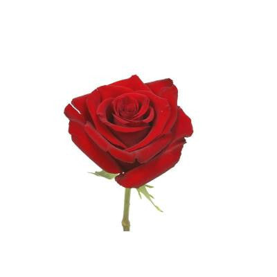 Red Roses (400 Stems) Includes Free Shipping