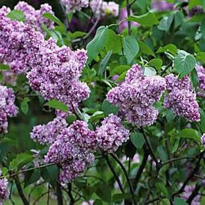 1 gal. Reddish Pink Common Lilac Shrub