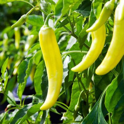 4 in. Banana-Hot Pepper