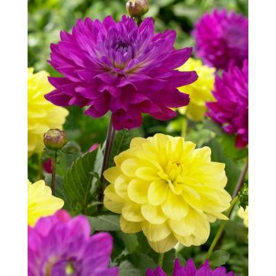 Purple and Yellow Bulbs Blend (3-Pack)