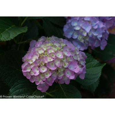 4.5 in. Quart Cityline Berlin Color Choice Hydrangea