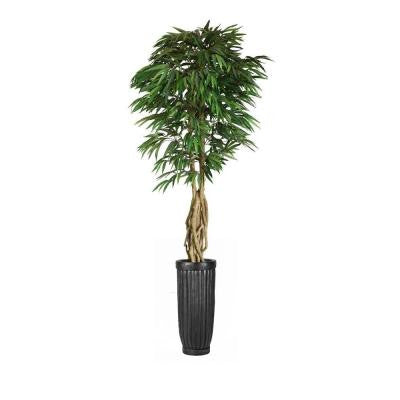 99 in. Tall Willow Ficus with Multiple Trunks in Planter