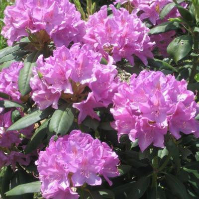 1 gal. English Roseum Rhododendron Shrub