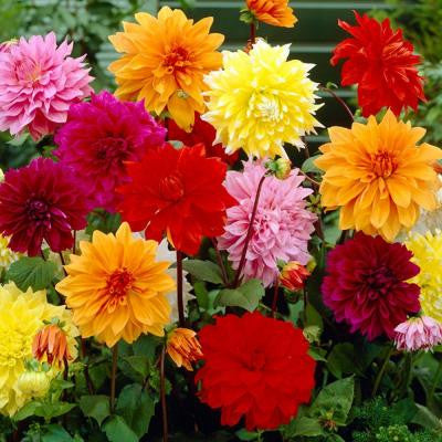 Dinnerplate Dahlia Mixed Dormant Tubers (6-Pack)