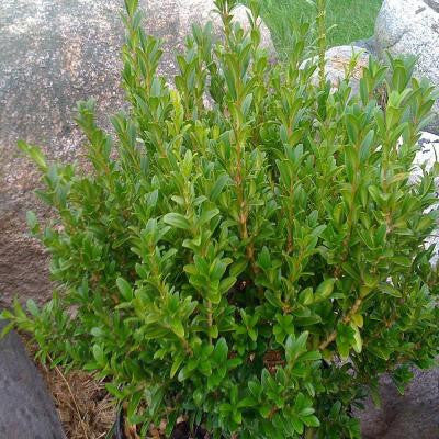 1.5 gal. Wee Willie Boxwood Shrub