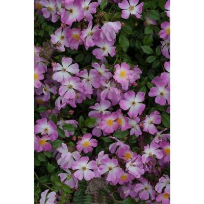Oso Easy Fragrant Spreader Rosa 4.5 in. Quart