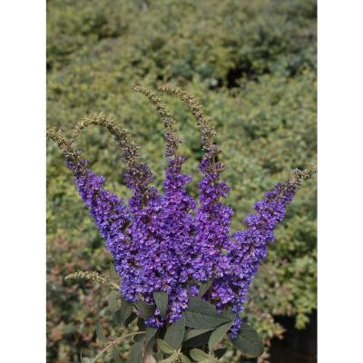 3 Gal. Lo and BeHold Blue Chip Jr. Buddleia ColorChoice Butterfly Bush Shrub