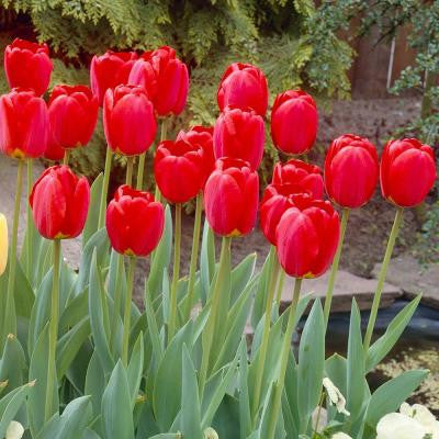 Darwin Tulip Red Oxford Flower Bulb (8-Pack)