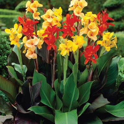 Canna Mixed (Standard) Dormant Bulbs (8-Pack)
