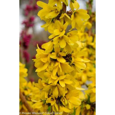 Show Off Starlet ColorChoice Forsythia - 4.5 in. Quart