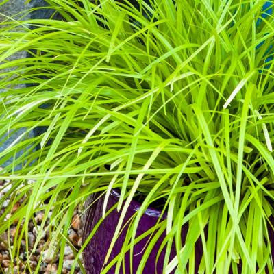 2.5 Qt. Everillo Carex