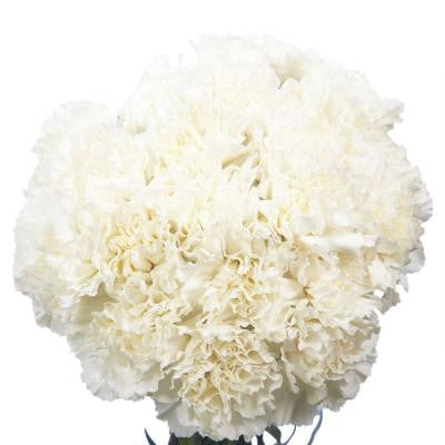 White Carnations (200 Stems) Includes Free Shipping
