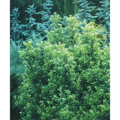 3 Gal. Castle Wall Ilex Blue Holly ColorChoice Shrub