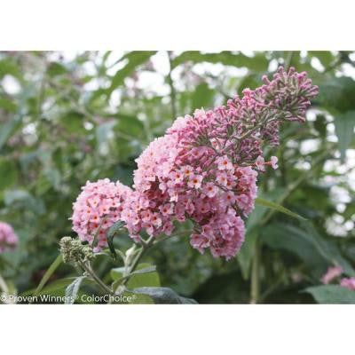 Inspired Pink ColorChoice Buddleia 4.5 in. Quart