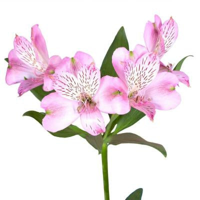 Pink Alstroemeria Flowers (80 Stems - 320 Blooms) Includes Free Shipping