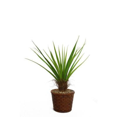 49 in. Tall Agave Plant with Cocoa Skin in 17 in. Fiberstone Planter