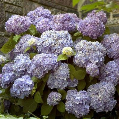 3 Gal. The Original Hydrangea