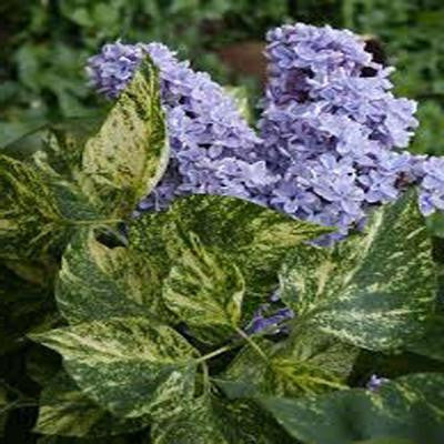 3 gal. Variegated Common Lilac Shrub