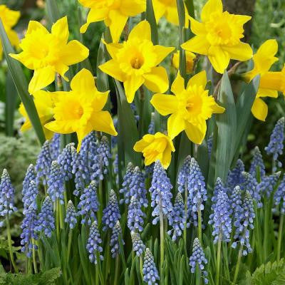 Muscari armeniacum (50 Dormant Bulbs) and Daffodil King Alfred (40 Dormant Bulbs) (90-Pack Total)