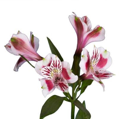 Alstroemeria Flowers (80 Stems - 320 Blooms) Includes Free Shipping