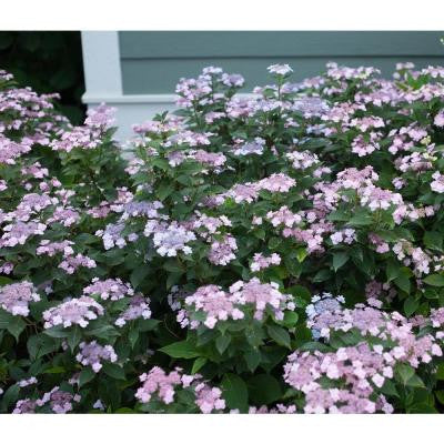 3 Gal. Tiny Tuff Stuff ColorChoice Mountain Hydrangea