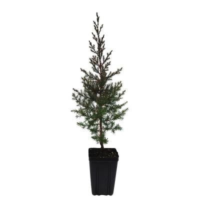 1 qt. Eastern Redcedar Christmas Tree