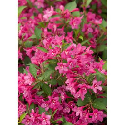 3 Gal. Sonic Bloom Pink Re-Blooming Weigela ColorChoice Shrub