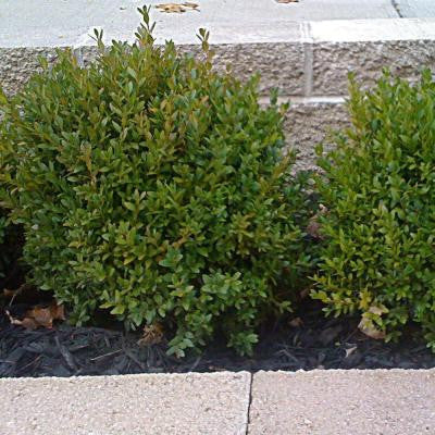 2 gal. Green Velvet Boxwood Shrub