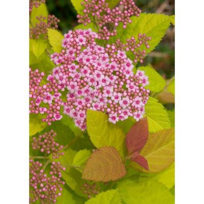 Double Play Big Bang ColorChoice Spirea - 4.5 in. Quart