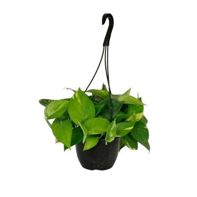 Golden Pothos in 8 in. Hanging Basket