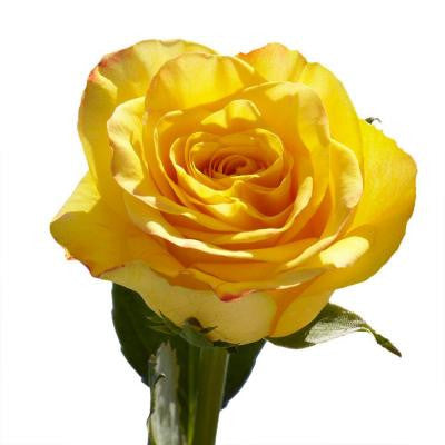 Yellow Mother's Day Roses (100 Stems)