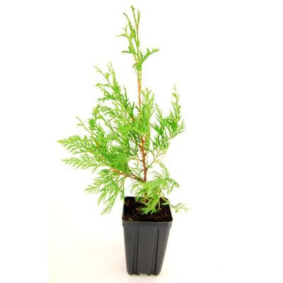 American Arborvitae / White Cedar Potted Evergreen Tree