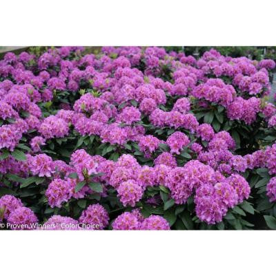 Handy Man Purple ColorChoice Rhododendron 1 Gal. Shrub