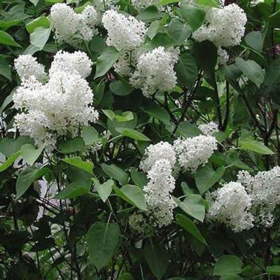 1 gal. White Common Lilac Shrub