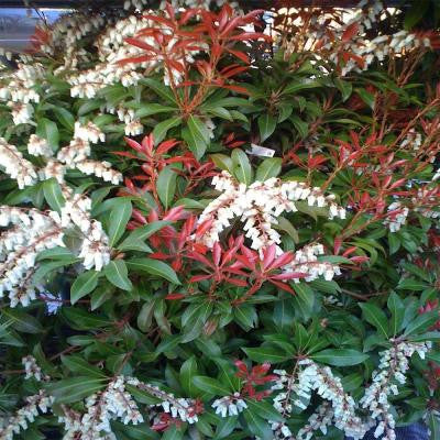 2 gal. Mountain Fire Andromeda Shrub
