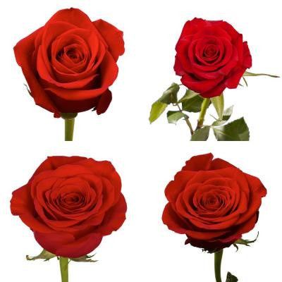 Red Color Roses (250 Stems) Includes Free Shipping
