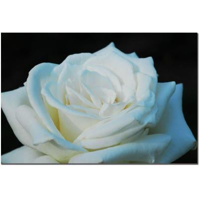 24 in. x 16 in. White Rose Beauty 2 Canvas Art