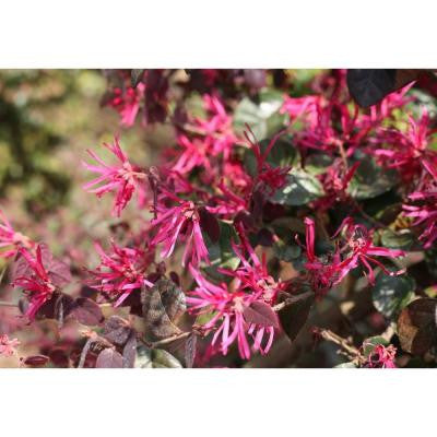 1 Gal. Jazz Hands Bold Chinese Fringe Flower Loropetalum ColorChoice Shrub