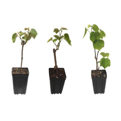 Table Grape Fruit Bearing Potted 3 Plant Variety Pack