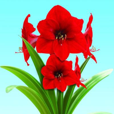 Extra Large Red Lion Amaryllis with Red Pot