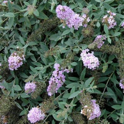 3 Gal. Lo and Behold Lilac Chip Buddleia ColorChoice Butterfly Bush Shrub